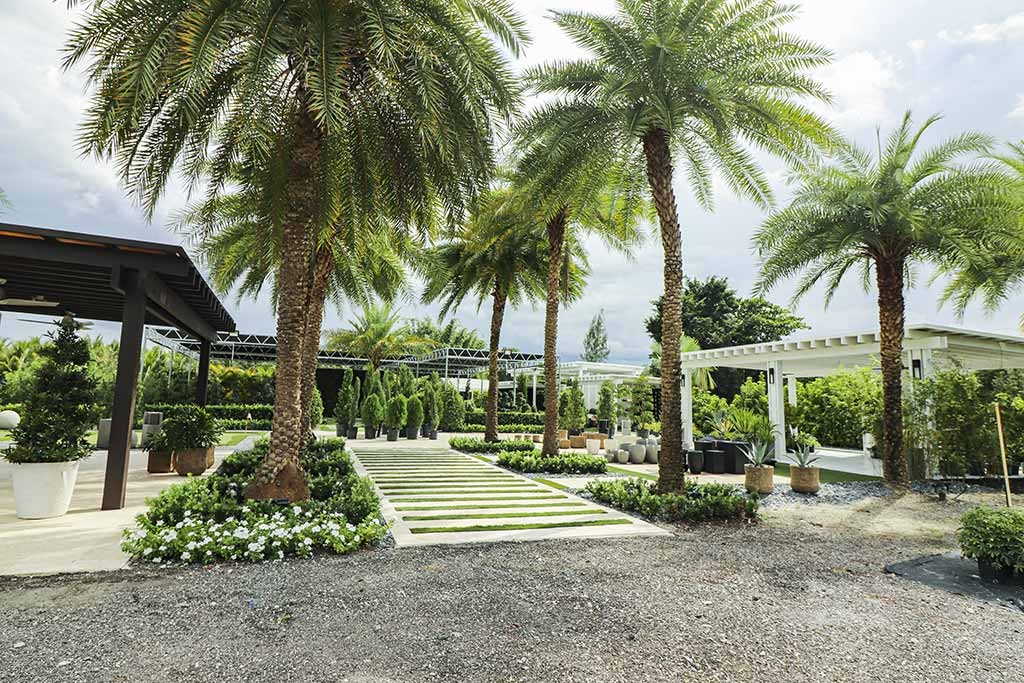 South Florida's Quality Growing Podocarpus Nursery