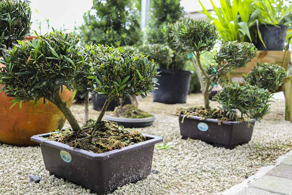 Quality Growing Podocarpus Nursery