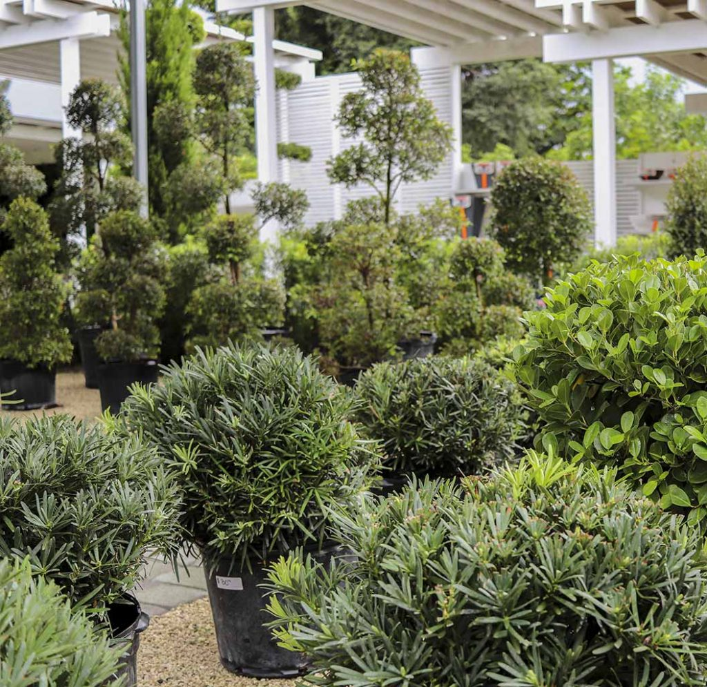South Florida\'s Quality Growing Podocarpus Nursery